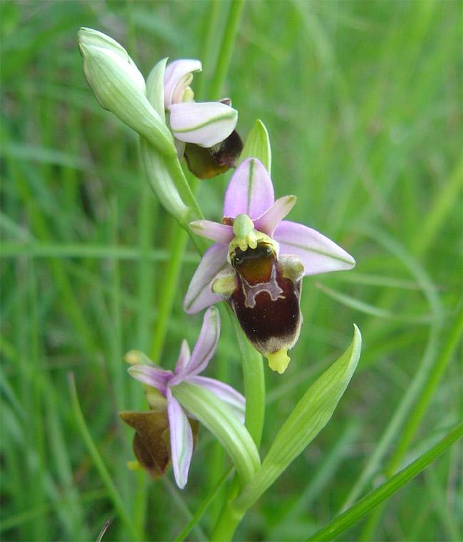 Ophrys fuciflora Fuci210