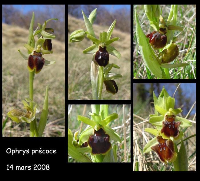 Ophrys araneola precoce - Page 2 O_pre110