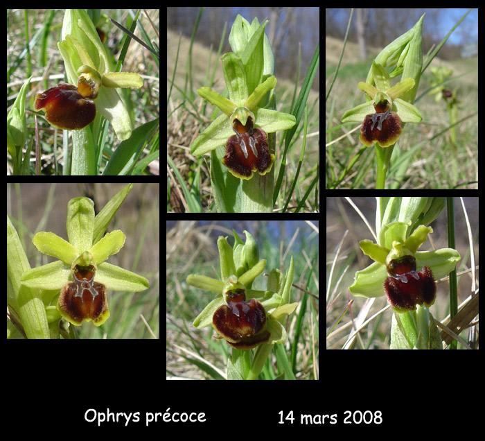 Ophrys araneola precoce - Page 2 O_pre210