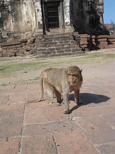 Le Temple des Singes de Lopburi Attent10