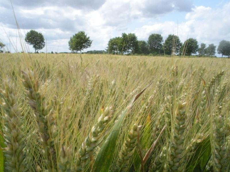 Rituels du blé et utilisation du blé en ésotérisme Cercle16