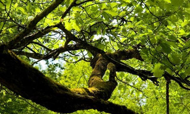Les alphabets des arbres Chene10