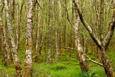 Les arbres et Vous selon le Calendrier Celte Irland10