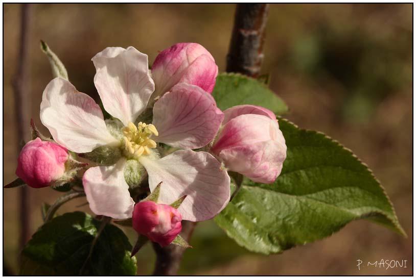 Fleurs de pommier Pma54111