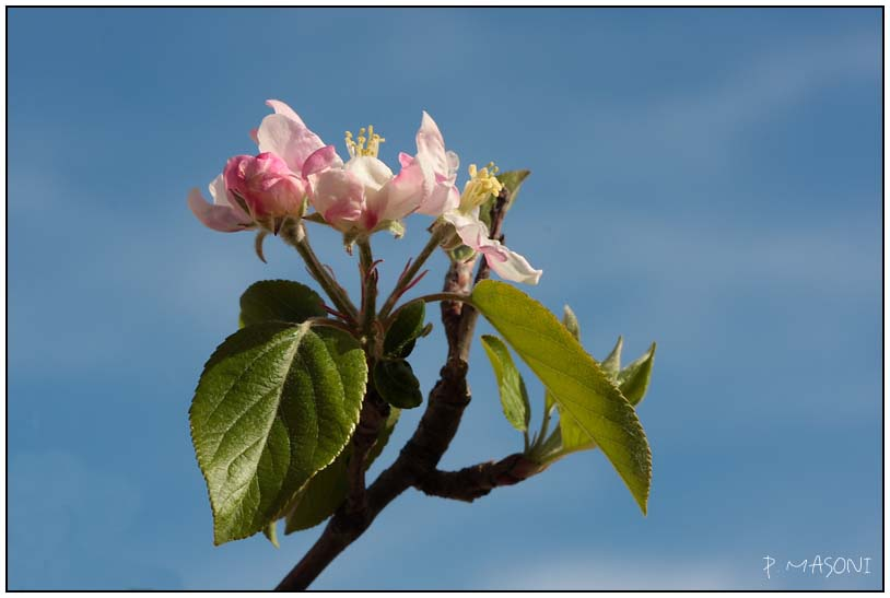 Fleurs de pommier Pma54112
