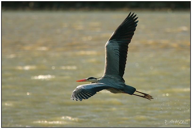 Oiseaux en vol Pma58811