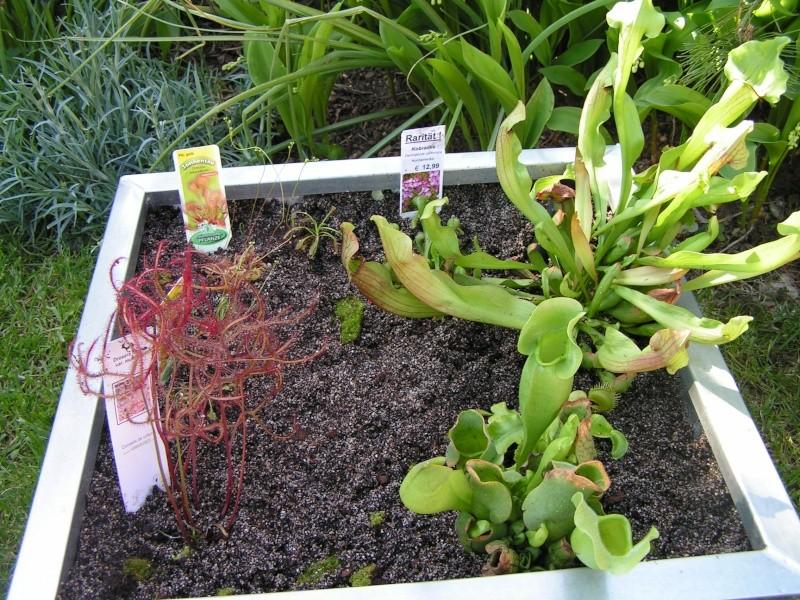 Darlingtonia californica Pict0013