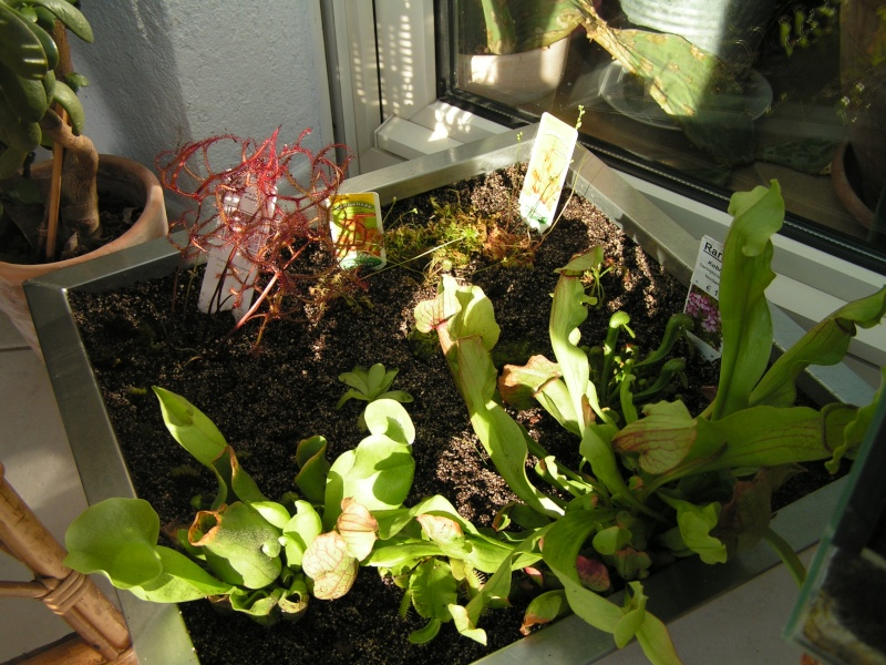 Darlingtonia californica Pict0016