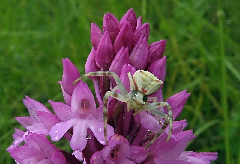 Anacamptis pyramidalis ( Orchis pyramidal ) Big710