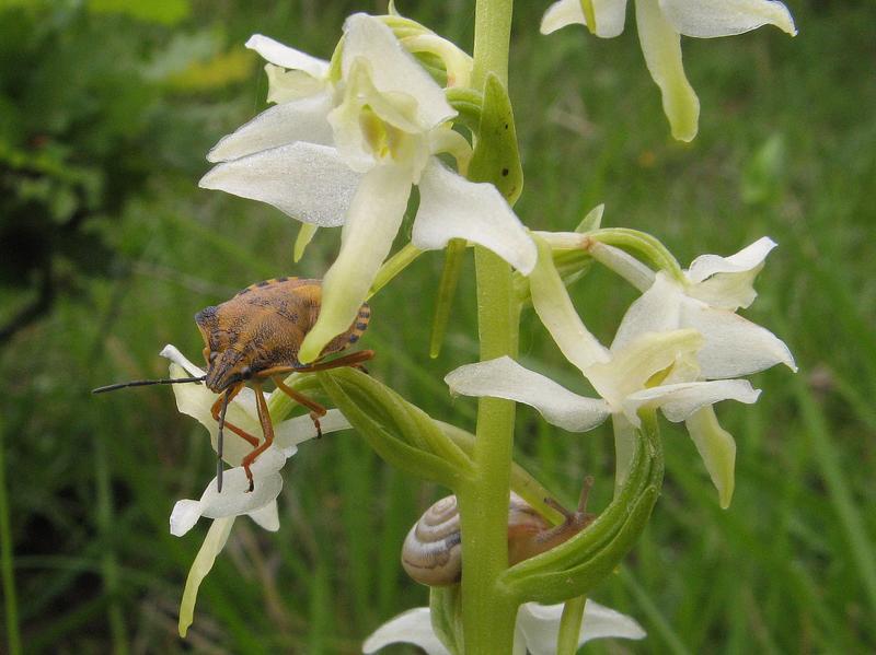 Platanthera bifolia ( Platanthère à deux feuilles ) Dr0710