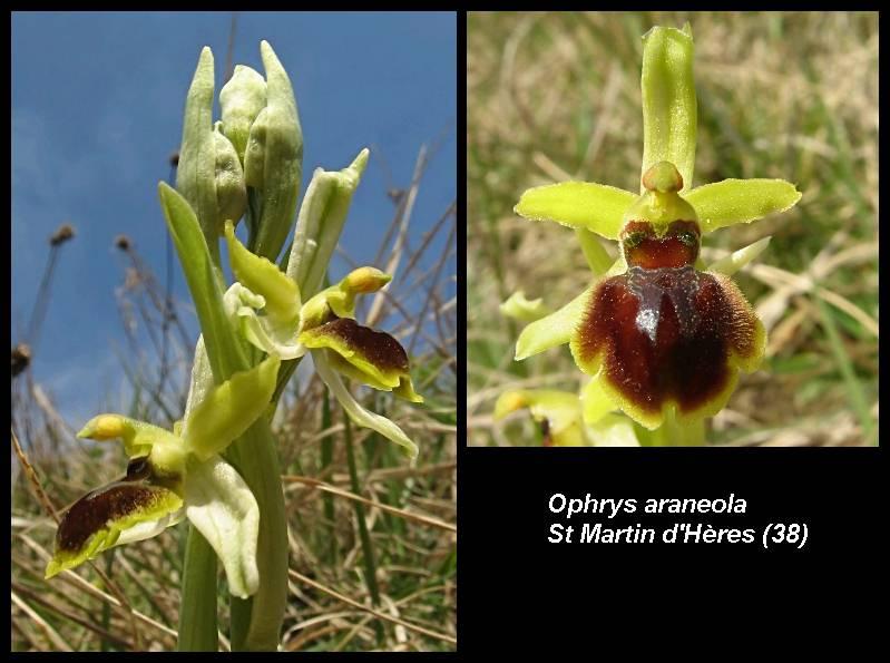 Ophrys araneola precoce - Page 2 O_aran12