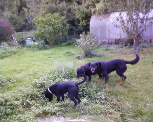 GABIN, 5 mois, croisé taille moyenne, tout noir (Hautes-Alpes, Briançon) - Page 2 Photos16