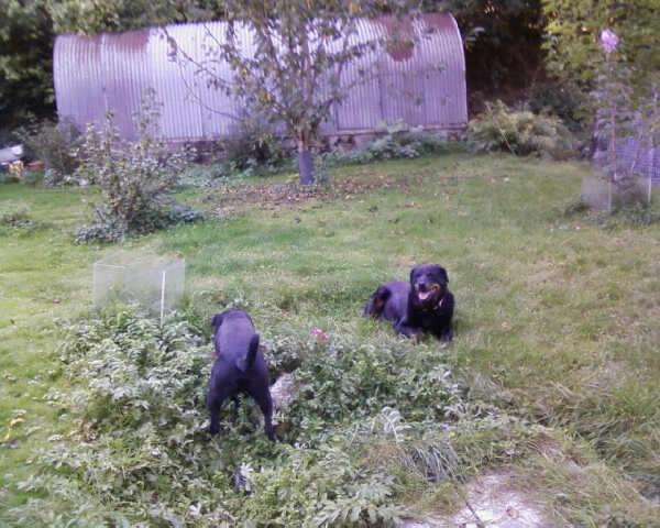 GABIN, 5 mois, croisé taille moyenne, tout noir (Hautes-Alpes, Briançon) - Page 2 Photos17