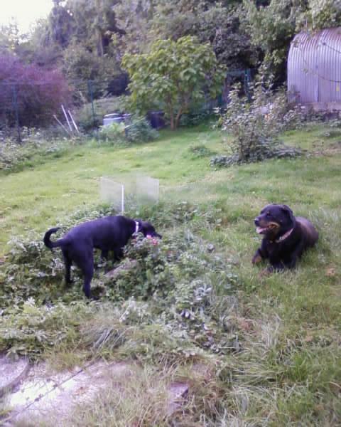 GABIN, 5 mois, croisé taille moyenne, tout noir (Hautes-Alpes, Briançon) - Page 2 Photos18