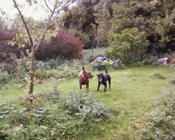 GABIN, 5 mois, croisé taille moyenne, tout noir (Hautes-Alpes, Briançon) - Page 2 Photos22