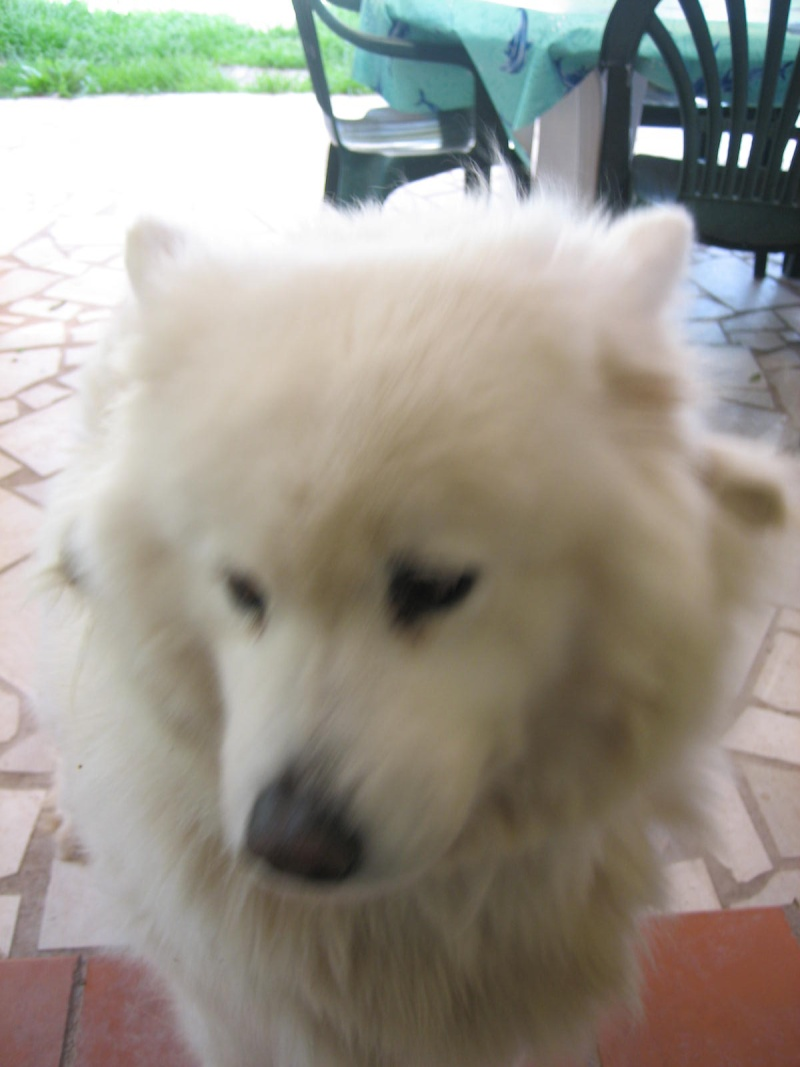 OPHELIA - femelle samoyede 10 ans Chien_14