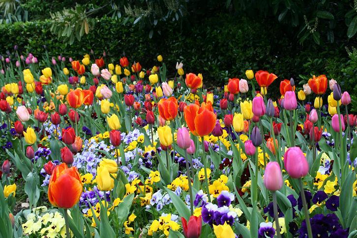 SI SOLO SE PUDIERAN OLER.... Tulipa10