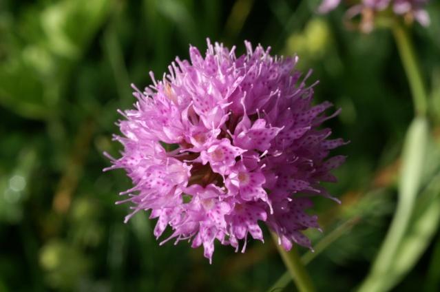 Traunsteinera globosa  ( Orchis globuleux ) Les_ch10