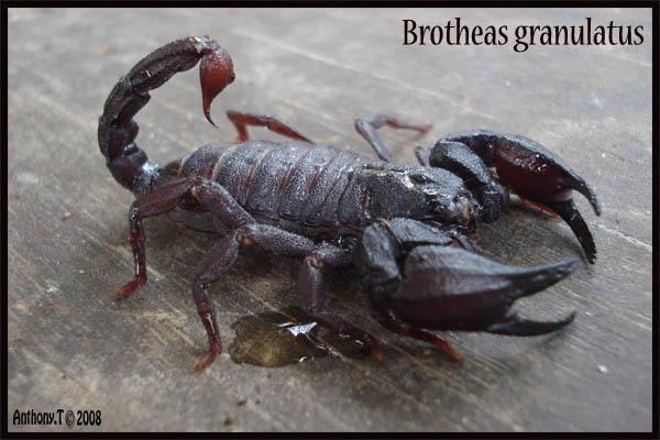 Brotheas granulatus (Guyane Française) - Anthony.T 410