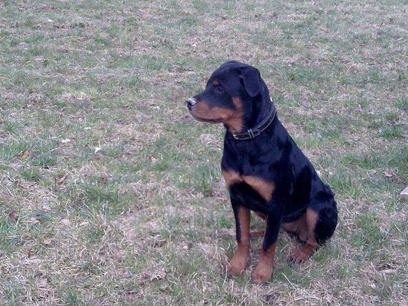 Shaïna femelle rottweiler Photo010