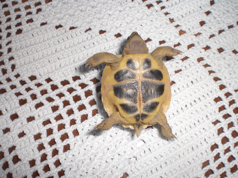 identification tortues de Caille - Page 3 02710