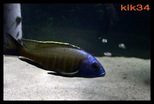 photos et videos de vos poissons du malawi Dscn9710