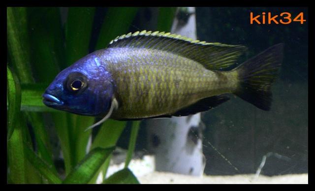 photos et videos de vos poissons du malawi Dscn9711