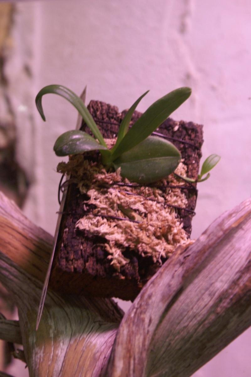Petites folies d'Orchidays Bonsai23