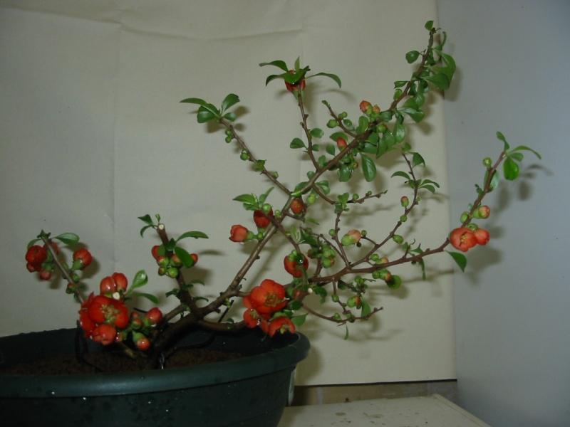 chaenomeles japonica Chaeno10