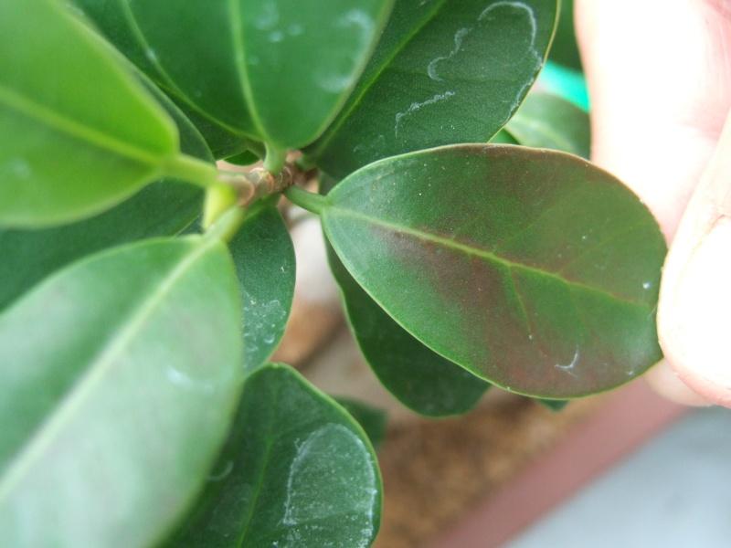 au secour taches sur feuilles ficus Dscf4422