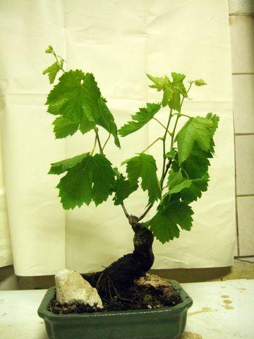 Evolution d'une vigne de muscat. Dscf4424