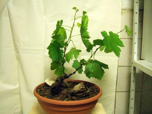 Evolution d'une vigne de muscat. Dscf4428