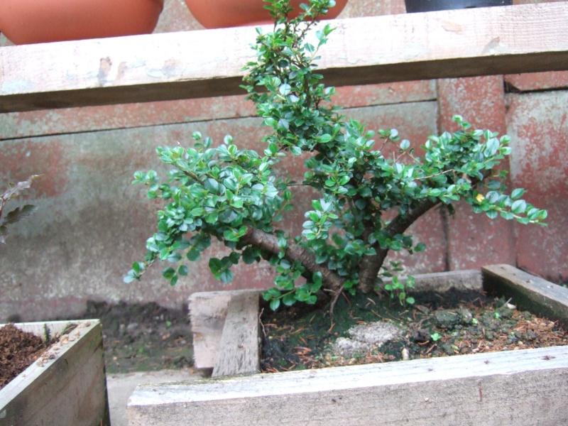 Cotoneaster Dscf4810