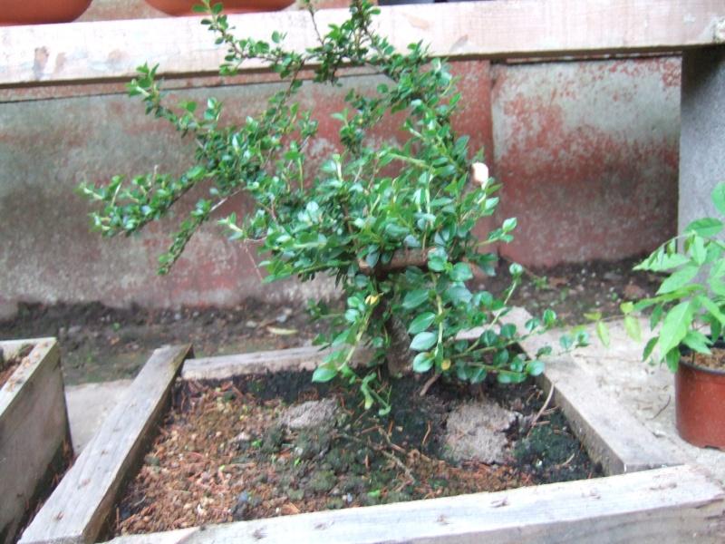 Cotoneaster Dscf4813