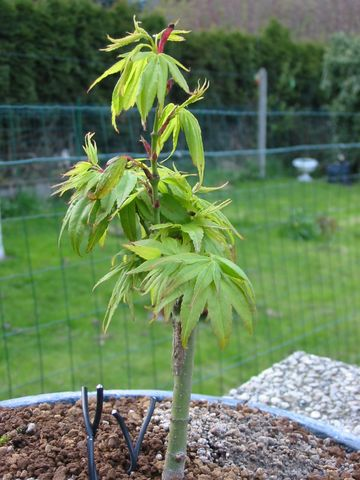 acer palmatum Mikawa-yatsubusa Img_2214