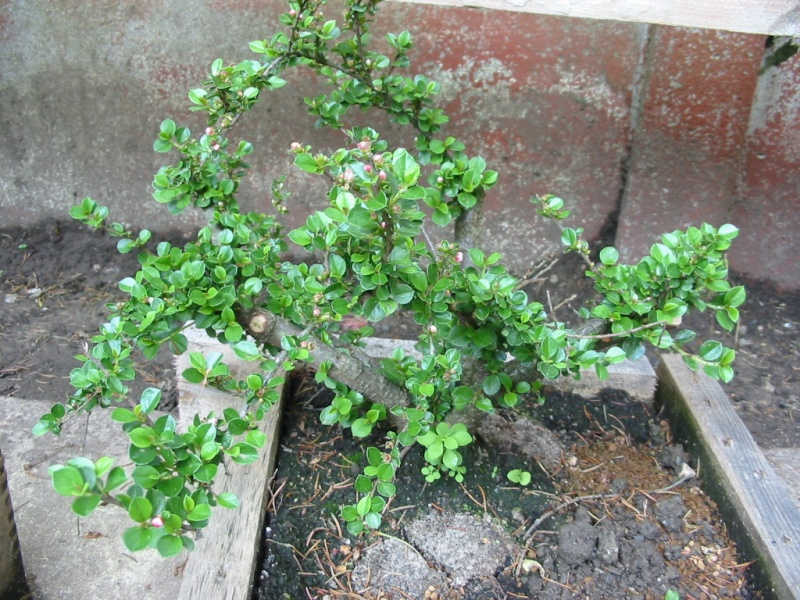Cotoneaster Img_2410