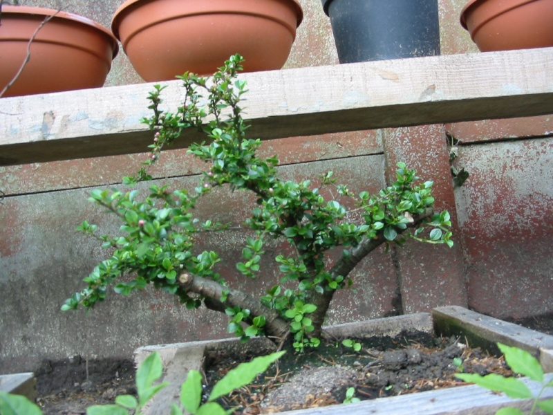 Cotoneaster Img_2412