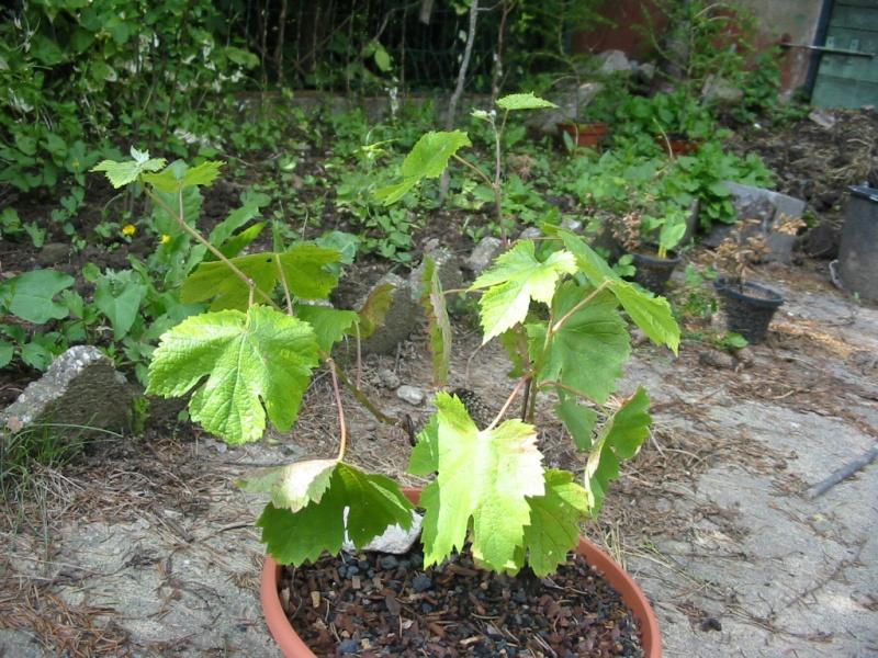 Evolution d'une vigne de muscat. Img_2414