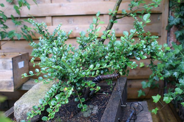 Cotoneaster Pict0019