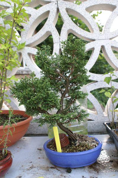 chamaecyparis obtusa Pict0110