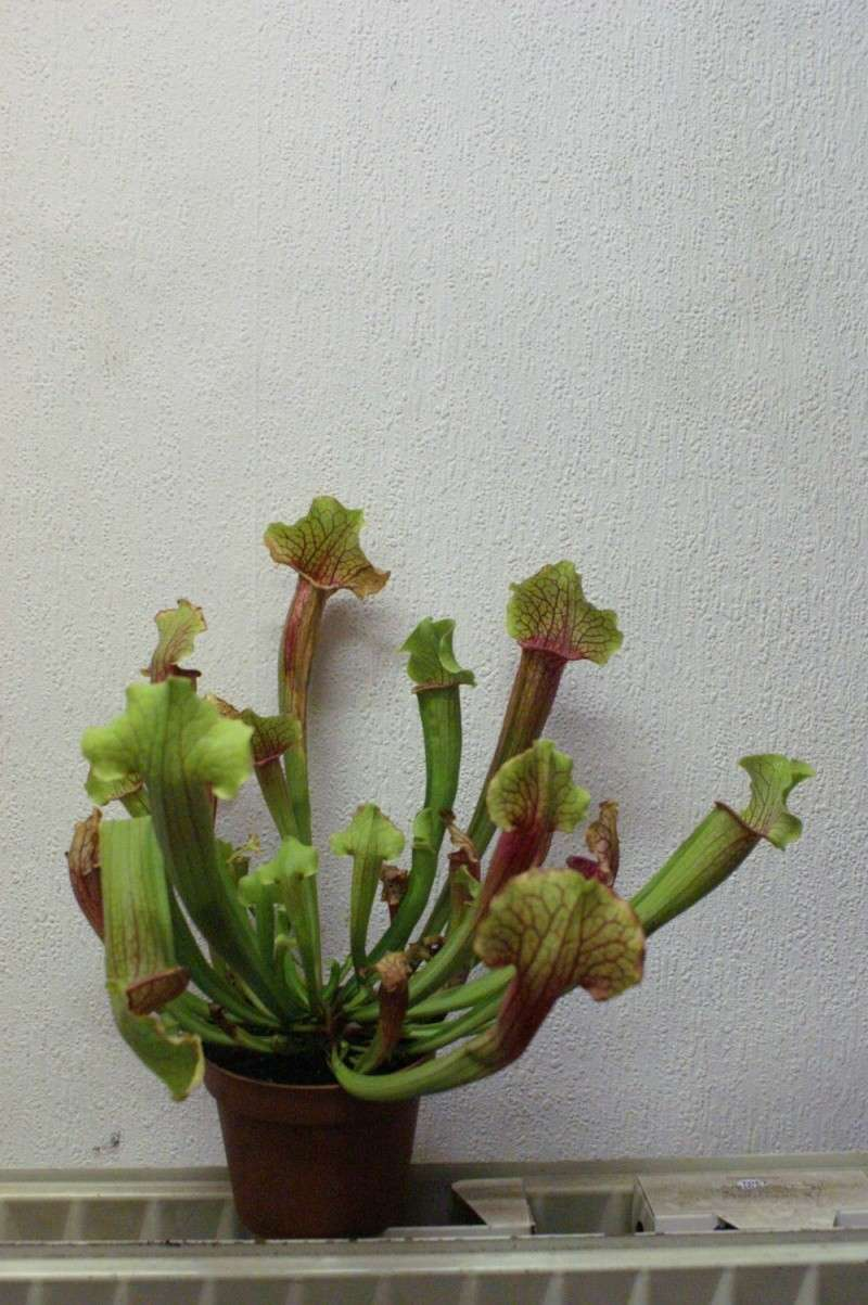 sarracenia de jardinerie Pict0319