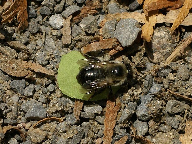 abeille découpeuse Abeill10