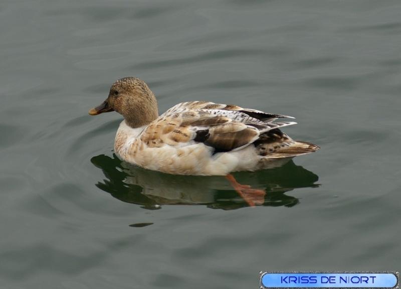 Canards à identifier Canard10
