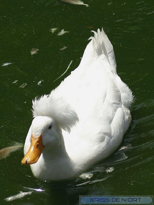 Canards à identifier Pict0811