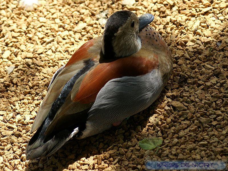 Canards à identifier Pict0812