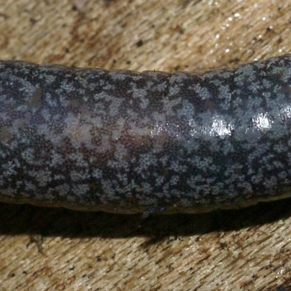Salamandre cendrée - Plethodon cinereus  Pletho10