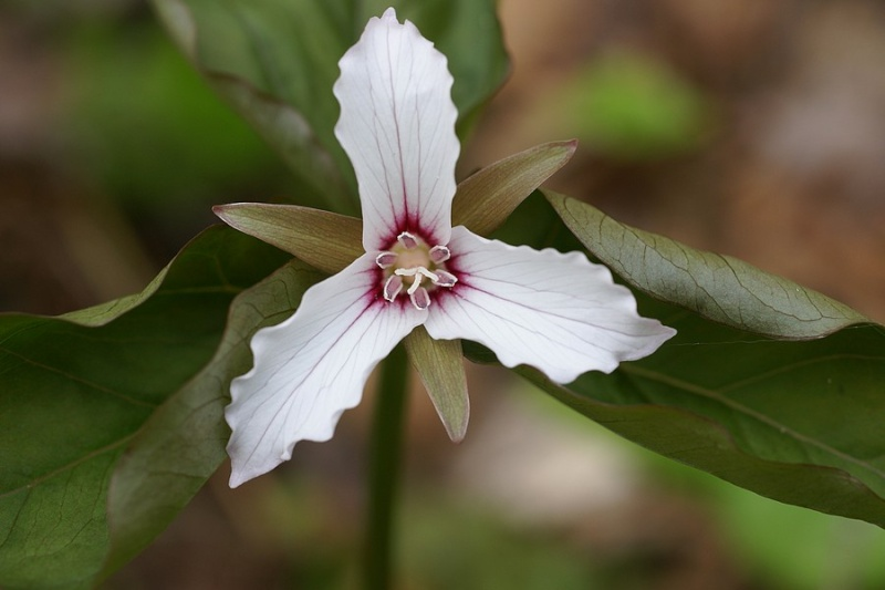 Trille ondulé - Trillium undulatum Trille10