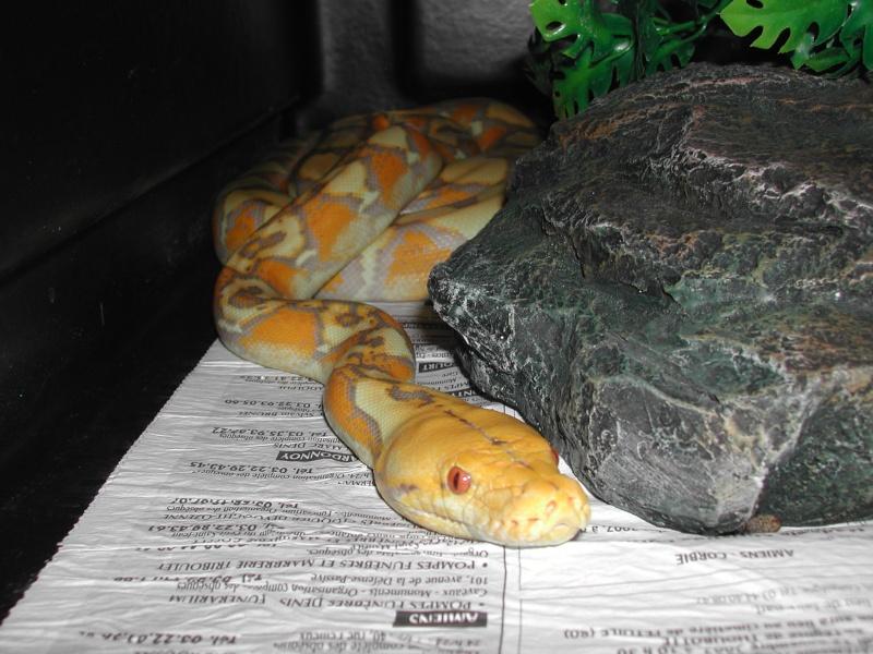 ma femelle P réticulé albinos lavender - Page 2 00210