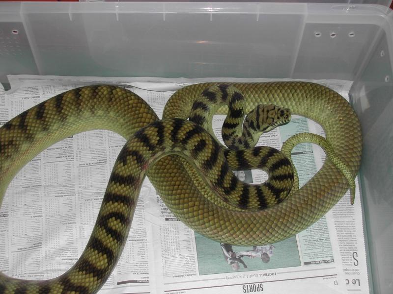 Scrub python ( Morelia amethystina) 00211