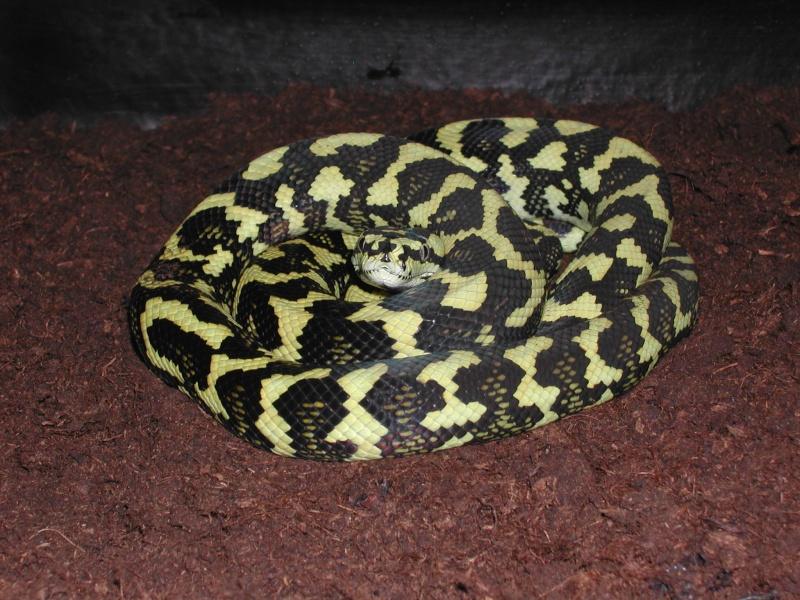 un petit mâle Ms cheynei de 2007 00223
